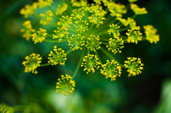 Blushes fragrant for seasoning green dill Royalty Free Stock Photo