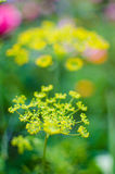 Blushes fragrant for seasoning green dill Stock Image