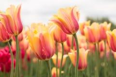 Blushing Beauty Tulip Field Holland Michigan Stock Photo