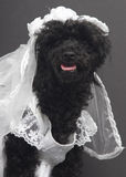 Blushing Bride. A smiling poodle in a bridal gown and veil, isolated on a gray background Stock Photo