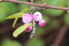 Blushing snow berries Royalty Free Stock Image