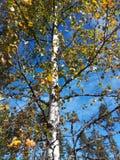 Bluskye del cielo y del abedul del árbol Fotos de archivo libres de regalías