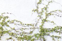 bluszcz ściana Obrazy Royalty Free