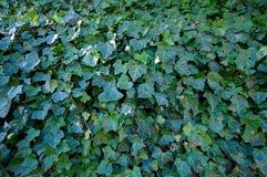 Bluszcz ściana w Szczytowym Gromadzkim parku narodowym Fotografia Royalty Free