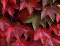 bluszcz czerwień Obraz Stock