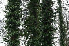 Bluszcz dławi drzewa Obrazy Royalty Free