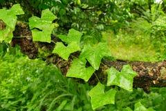 Bluszcz gurda; Coccinia grandis w Głębokim lesie Zdjęcia Royalty Free