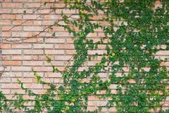 Bluszcz na ściana z cegieł Zdjęcie Stock