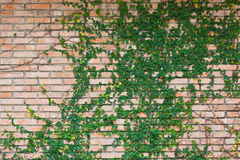 Bluszcz na ściana z cegieł Zdjęcie Royalty Free