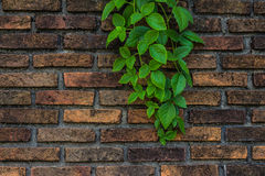 Bluszcz na ściana z cegieł Obrazy Royalty Free