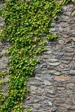 Bluszcz na ścianie zdjęcia royalty free