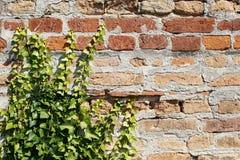 Bluszcz na nieociosanym ściana z cegieł Zdjęcie Royalty Free