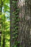 Bluszcz nić na barkentynie drzewo w lesie Obraz Royalty Free