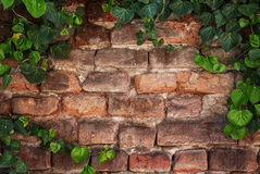 Bluszcz rama na starym ściana z cegieł Obraz Royalty Free