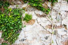 bluszcz roślina i stara ściana Zdjęcie Royalty Free