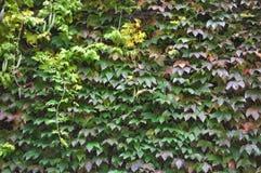 Bluszcz roślina na ścianie Zdjęcie Royalty Free