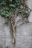 Bluszcz roślina na ścianie Zdjęcie Stock