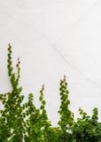 Bluszcz roślina na białym tle Obrazy Royalty Free