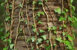Bluszcz roślina Zdjęcia Royalty Free