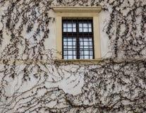 Bluszcz roślina w zimie Zdjęcia Stock