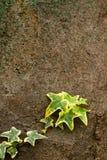 bluszcz skała Obrazy Royalty Free