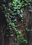 Bluszcz wokoło drzewa Zdjęcia Royalty Free