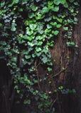 Bluszcz wokoło drzewa Fotografia Stock