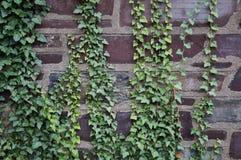 Bluszcz zakrywająca kamienna ściana Zdjęcia Royalty Free