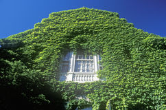 Bluszcz Zakrywający budynek, uniwersytet harwarda, Cambridge, Massachusetts obraz royalty free