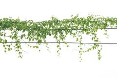 Bluszcz zieleń z liściem dalej odizolowywa Zdjęcia Stock