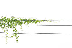 Bluszcz zieleń z liściem dalej odizolowywa Obrazy Royalty Free
