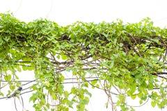 Bluszcz zieleń z liściem dalej odizolowywa białego tło Obrazy Royalty Free