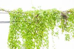 Bluszcz zieleń z liściem dalej odizolowywa białego tło Zdjęcia Royalty Free