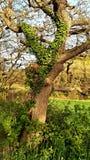Bluszcza dorośnięcie w bagażniku drzewo Obrazy Stock