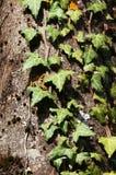 bluszcza drzewo Zdjęcie Stock