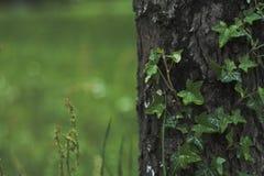 Bluszcza drzewo Zdjęcie Royalty Free