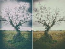 Bluszcza drzewo Fotografia Stock