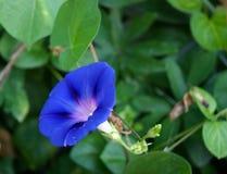 Bluszcza kwiat Fotografia Royalty Free