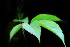 Bluszcza liść zdjęcie stock