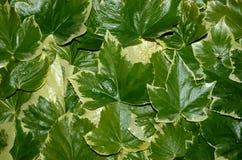 Bluszcza liścia tekstura Zdjęcie Stock