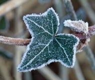 bluszcza mrozowy liść Fotografia Stock