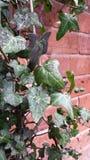 Bluszcza obwieszenie na ściana z cegieł Zdjęcia Royalty Free
