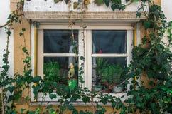 Bluszcza okno Zdjęcia Stock