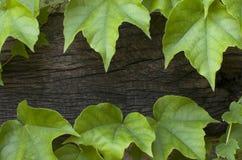 Bluszcza tło Obraz Stock