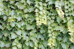 bluszcza winogradu ściana Obraz Royalty Free