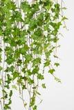 Bluszcza winogradu tło Obrazy Stock