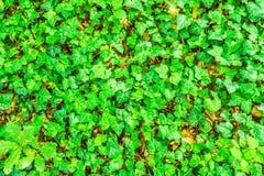 Bluszcza zielony tło Fotografia Stock