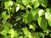 bluszczy liść Obraz Stock