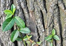 Bluszczy liście na drzewie Fotografia Stock