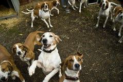 Blut-Jagdhund-Hunde Lizenzfreies Stockfoto